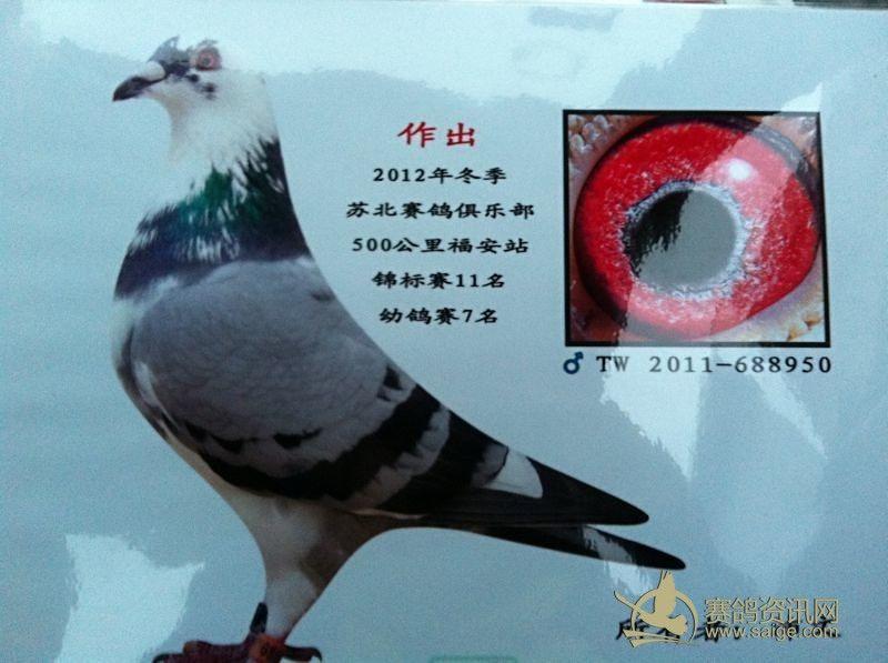 灰头白条母鸽图片