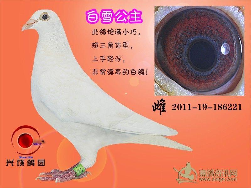 放飞鸽子动态图片_卡通鸽子_鸽子跳笼设计图_鸽子眼睛好坏分析图