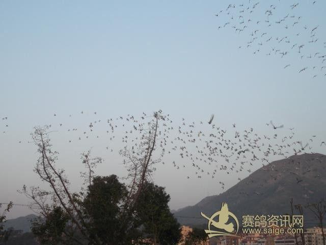 北京/澄海信鸽协会2013秋季乐清司放图片...