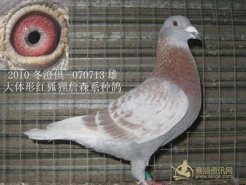 红狐狸詹森系赛鸽 已售潮南图片