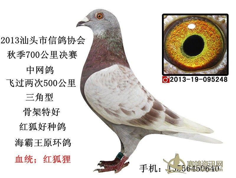 海霸王赛汕头市信鸽协会700公里中网鸽 红雨点 黄眼 雄鸽图片