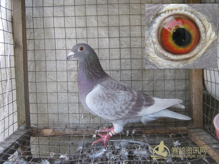 红雨点信鸽配对图片图片