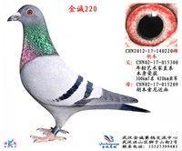 胡本基础种鸽