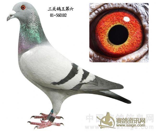 2012年振宇公棚137 下面为本鸽资料 鸽子为手机拍照 眼睛拍不清楚还