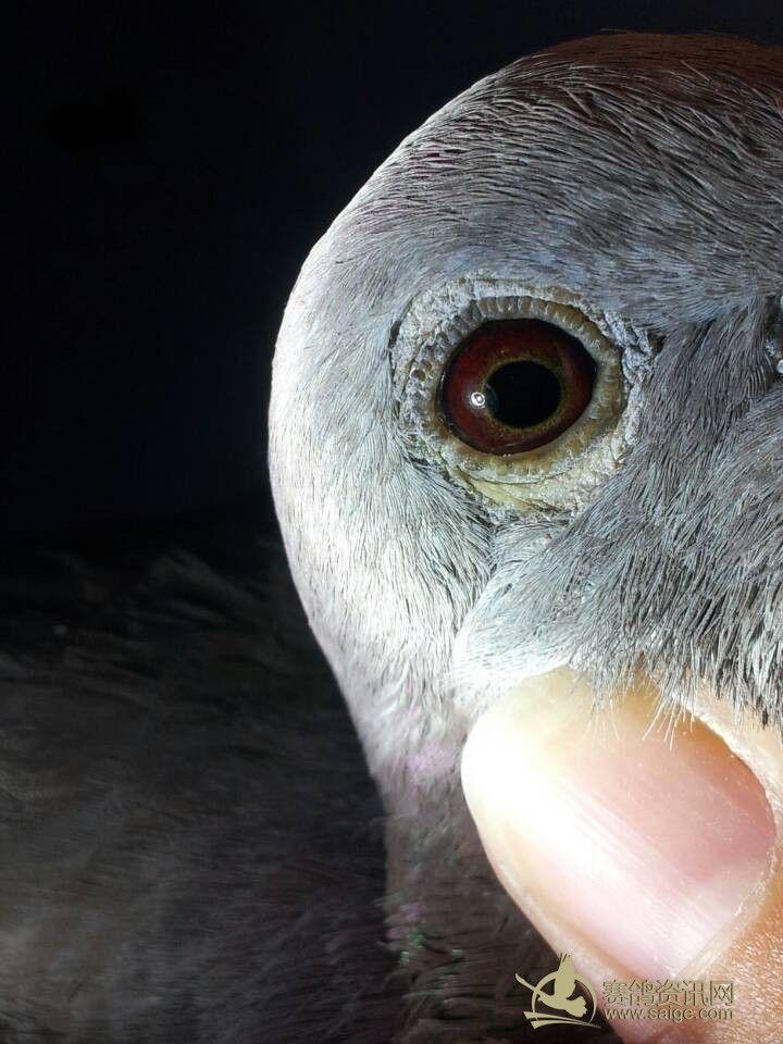 南海多关台鸽 红雨点 精品图片