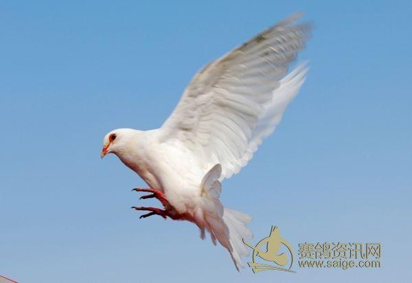 白鸽飞翔图片