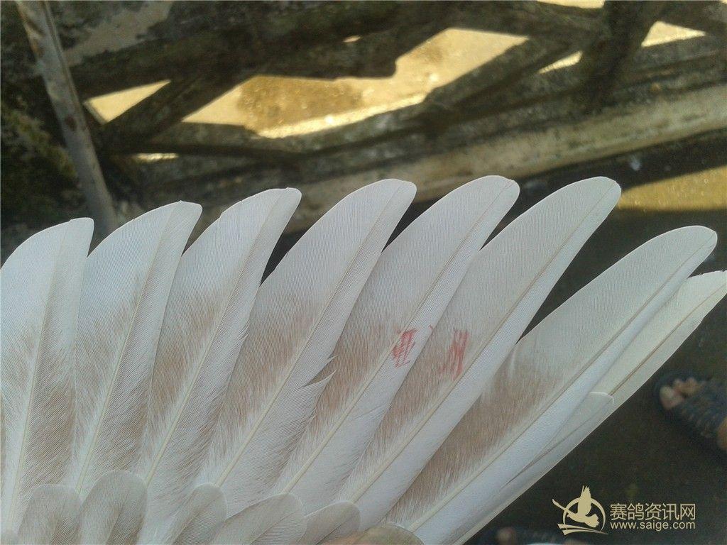 动态 龙湖/龙湖信鸽协会(母鸽、降)