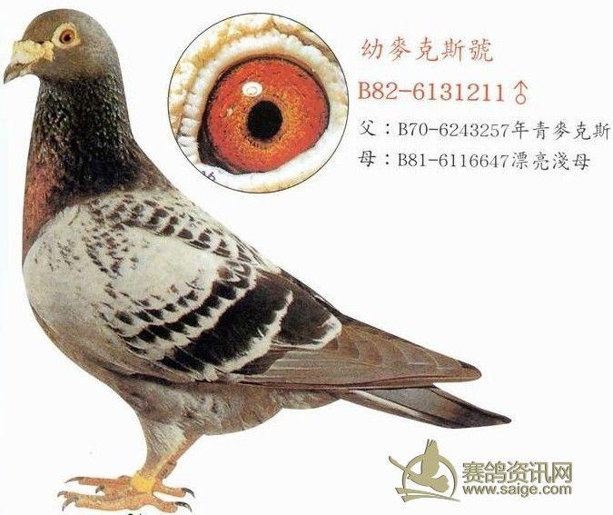 信鸽训养鸽眼砂是由底沙、面沙、 一羽优秀的种鸽或者赛鸽,肯定具