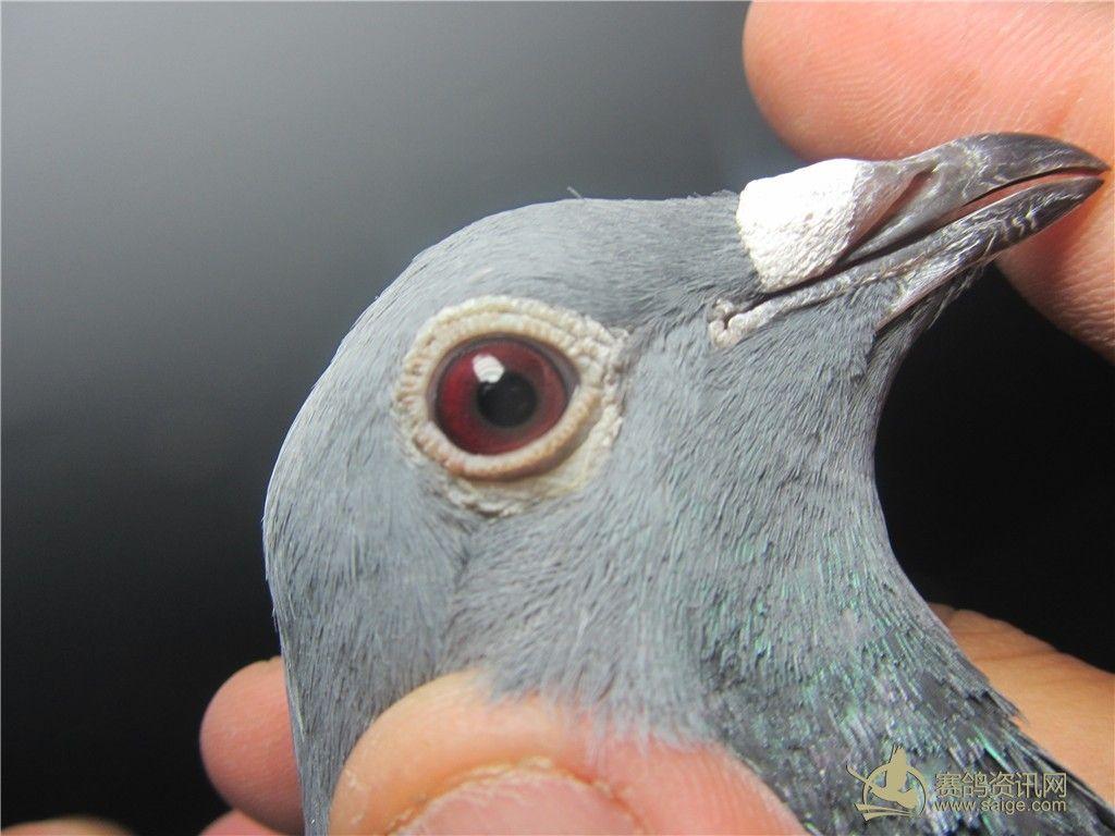 刚 下船 的 2014南海春季正 三关 雨点牛眼 台鸽图片