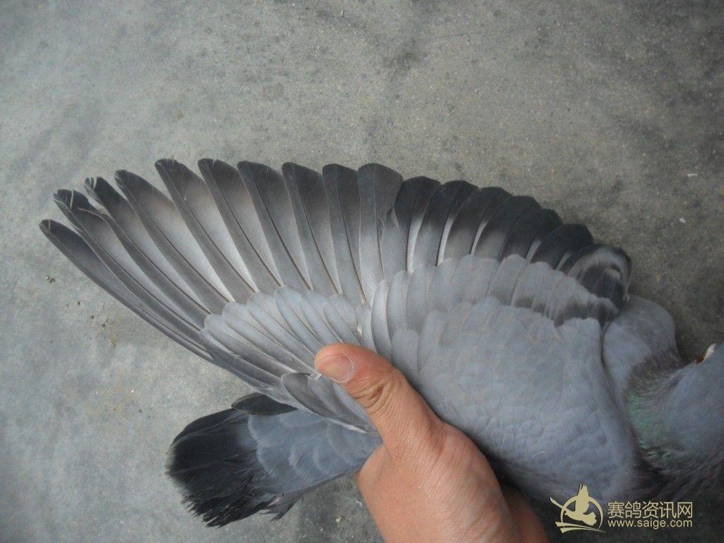 澄海/特优秀石斑母鸽+澄海信鸽协会