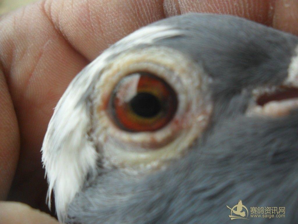 雨点白翅母鸽图片