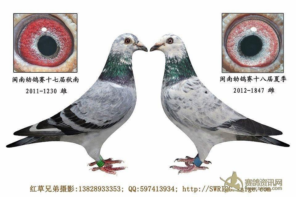 鸽子的特点 鸽子的特点是什么 瓦特鸽子的特点 图片专栏