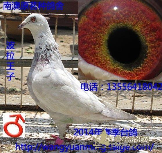 台鸽 花台鸽 2014年黑台鸽 白台鸽等图片