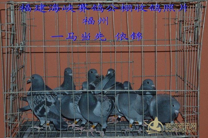 信鸽棚设计图片欣赏-4月14日收鸽照片及数据