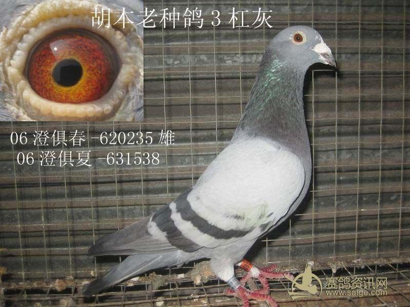 动物 鸽 鸽子 鸟 鸟类 800_600