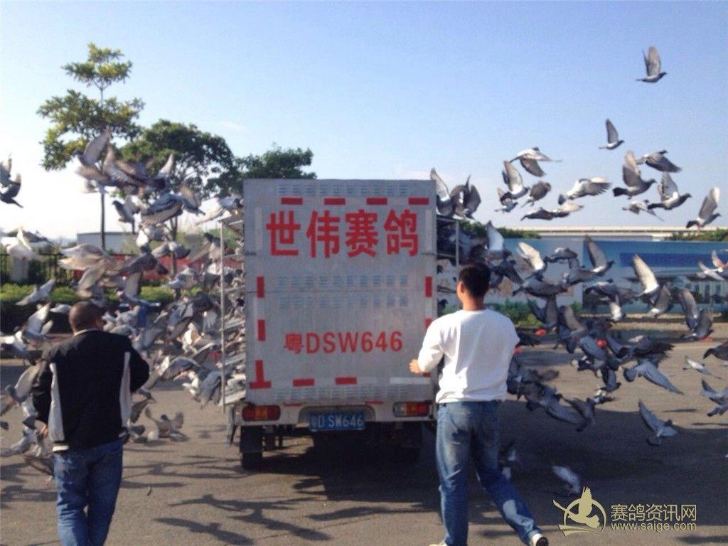 广东 潮州市 湘桥区/广东潮州市湘桥区信鸽协会2014年春季幼鸽400公里司放图片
