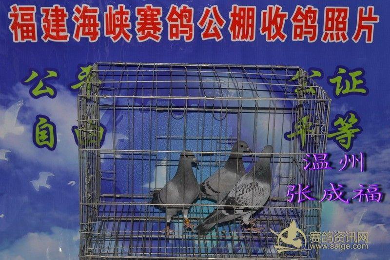 福建海峡赛鸽公棚5月4日收鸽照片及数据