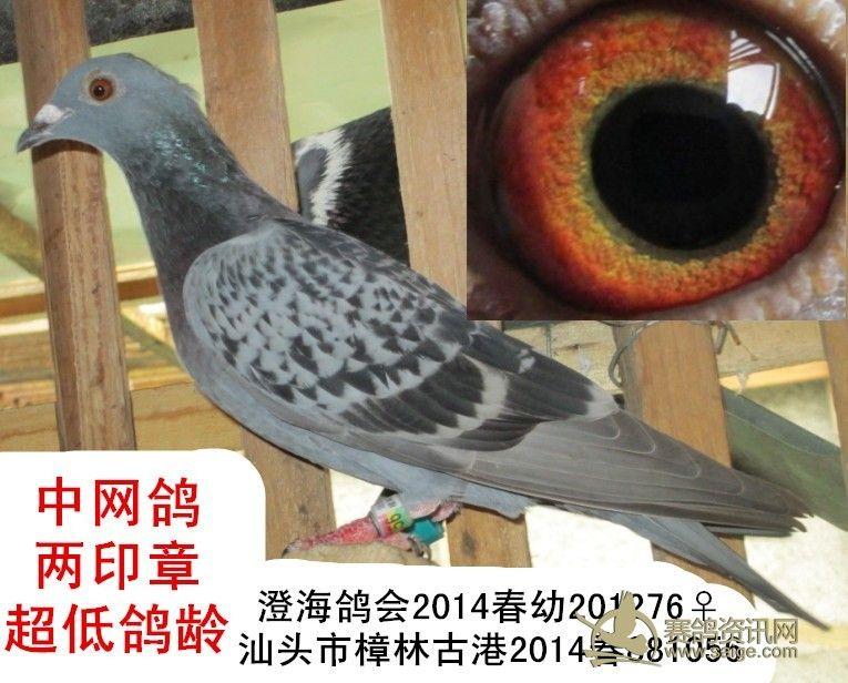 2014春 澄海鸽会 古港 两套幼鸽 雨点雌鸽 已售图片