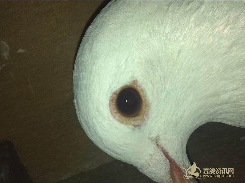 朋友寄售全白赛鸽一羽2013妈祖鸽会秋0596全身上下除了眼睛以外全