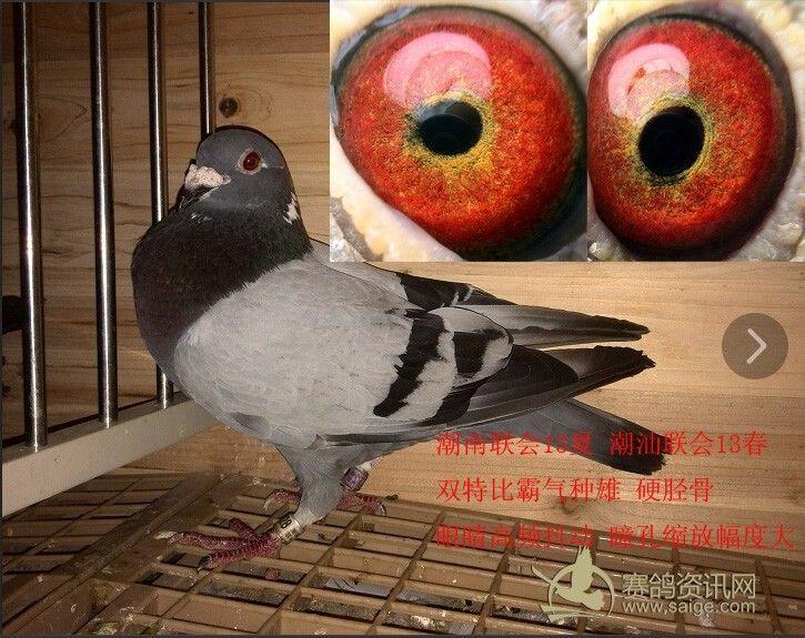 阳靓鸟 硬骨 眼睛抖动收缩一流 尚好赛鸽