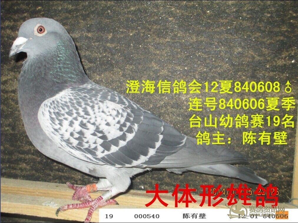 信鸽会12夏 雨点雄 连号台山幼鸽19名 已售图片