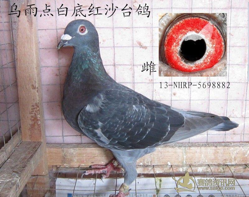 乌雨点白底红沙台鸽图片