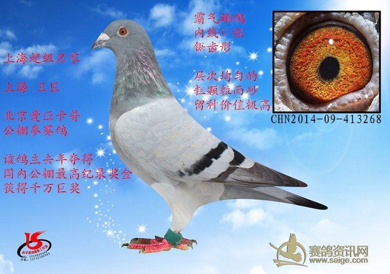 费.`�.���d�!깢�y/��!._刚到 上海超级名家 上海 王臣 参赛费8500 霸气雄鸽 眼睛内线口程锯