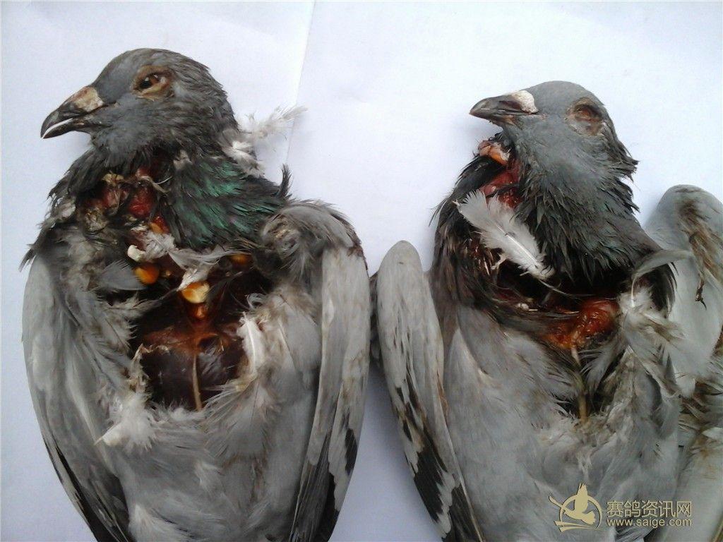 死亡 赛鸽 相关 意外/036棚号赛鸽意外死亡相关照片