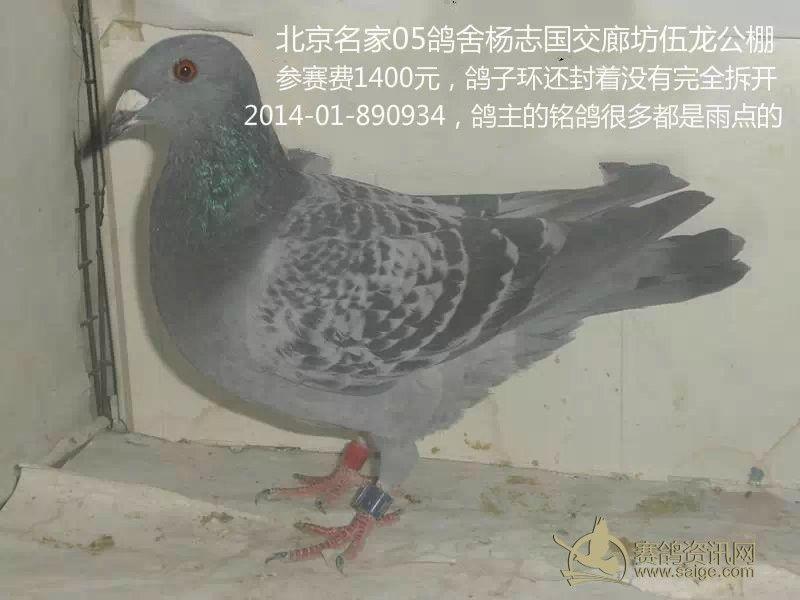 1400元 此鸽子封环的胶条还没完全拆掉,鸽主网站的铭鸽都是雨点的图片