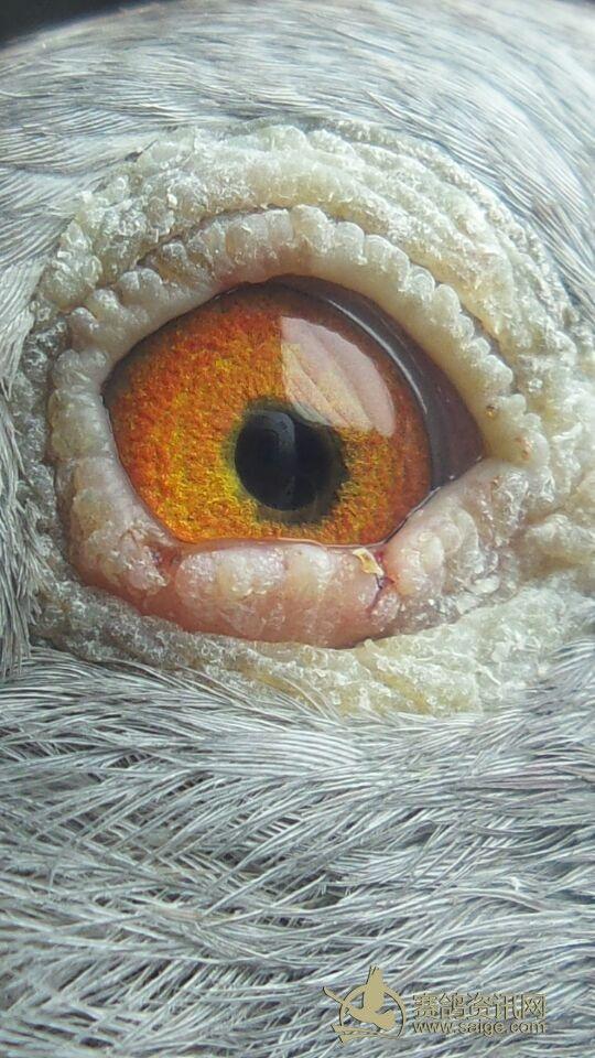 4秋南海台鸽 红雨点图片