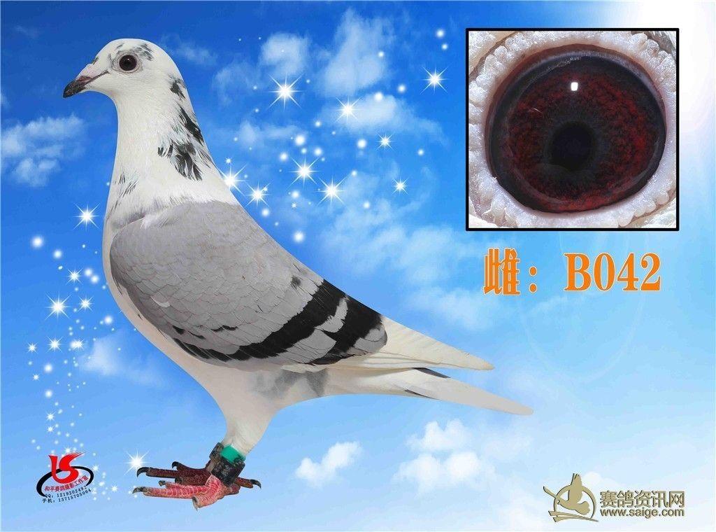灰白头白条台鸽图片