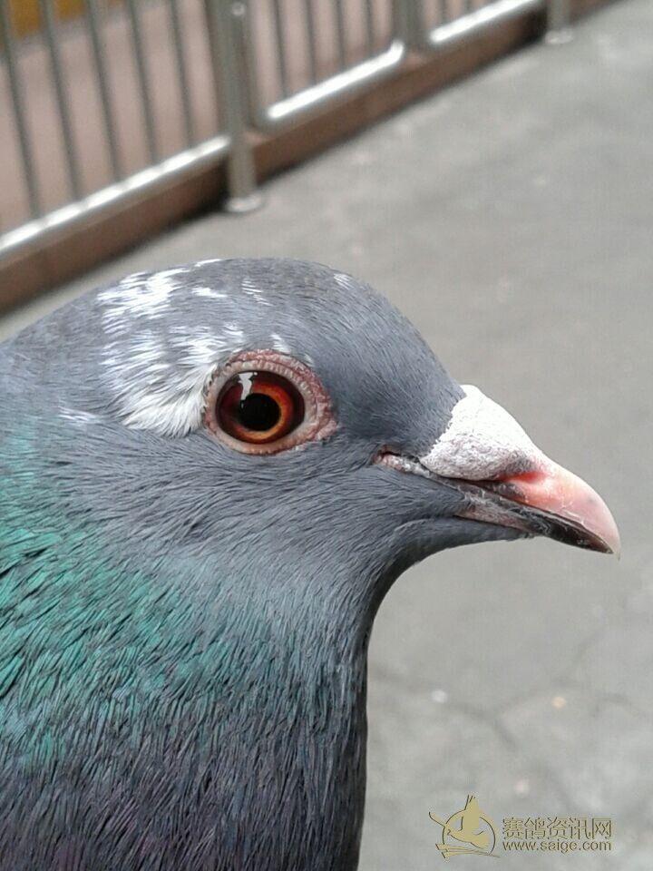 深圳鸽,怪色,鸳鸯眼,蜡嘴