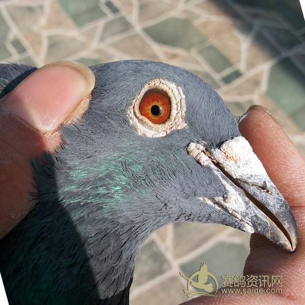 浅雨点 台湾 鸽子超级漂亮 友谊鸽店图片