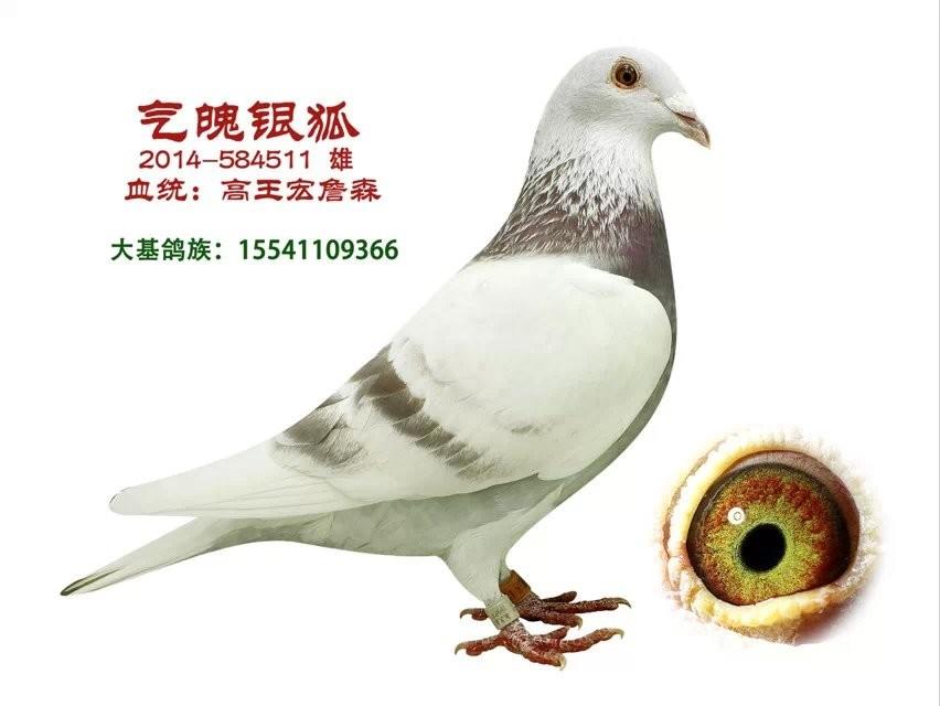 儿子鸽动物鸟鸽子852_640鸟类梦见老虎追女人和自己图片