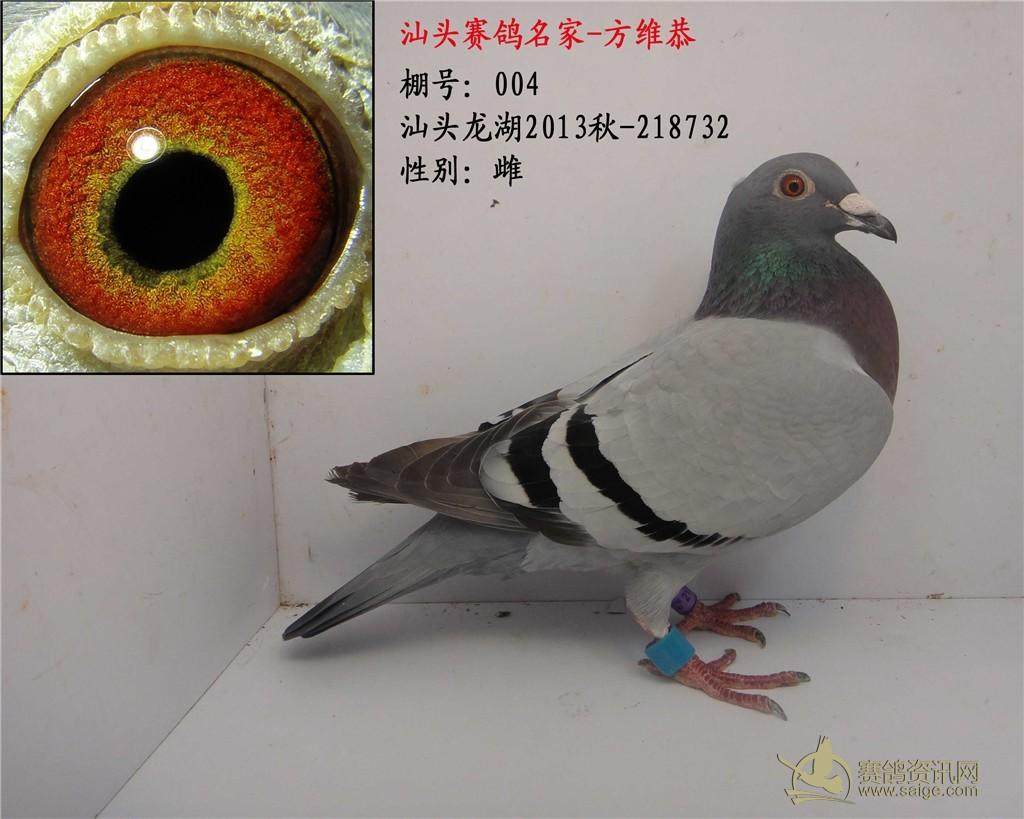 004 龙湖参赛鸽 灰 黄眼 雌