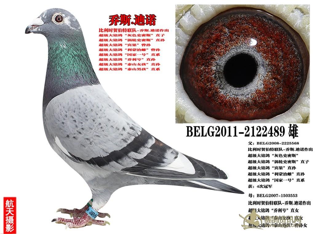 温州朋友代售 原环种鸽,比利时 乔斯迪诺 大铭鸽