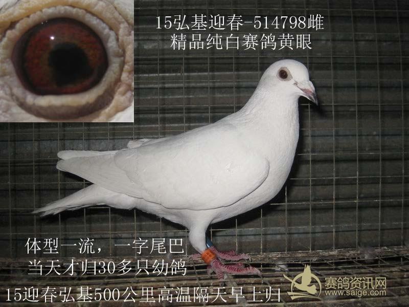 精品纯白黄眼赛鸽 多章 价高