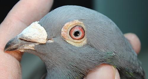山东郭林忠2012-15-205352公鸽