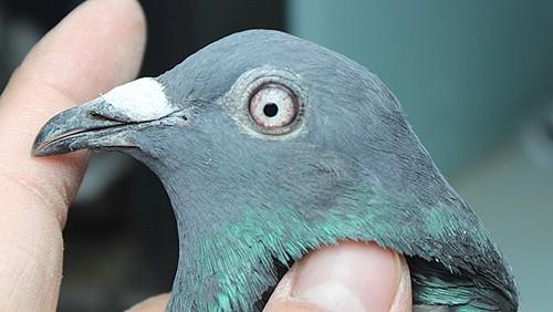 动物鸽鸟类鸟鸽子500_282蚂蚁勤劳的地方在哪儿图片