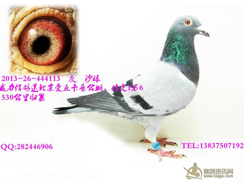 威力信鸽送北京爱亚卡普公棚,指定16000,成绩鸽,灰,沙眼