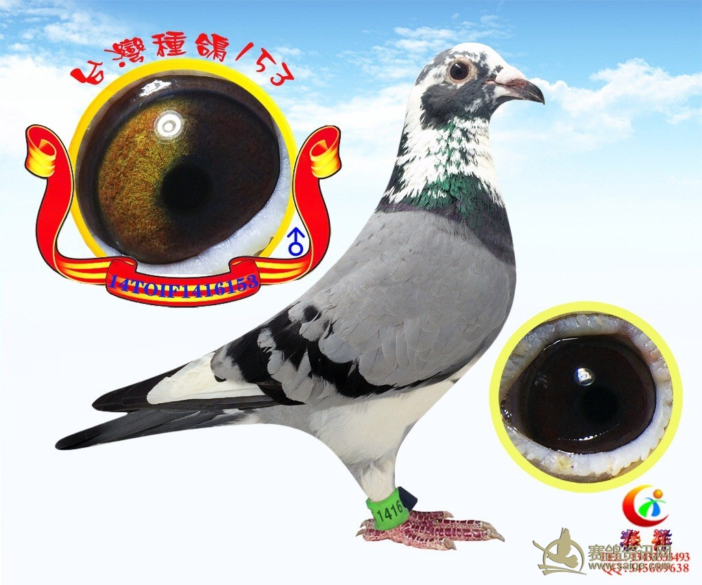 台湾/经典怪眼台湾鸽7个号码...
