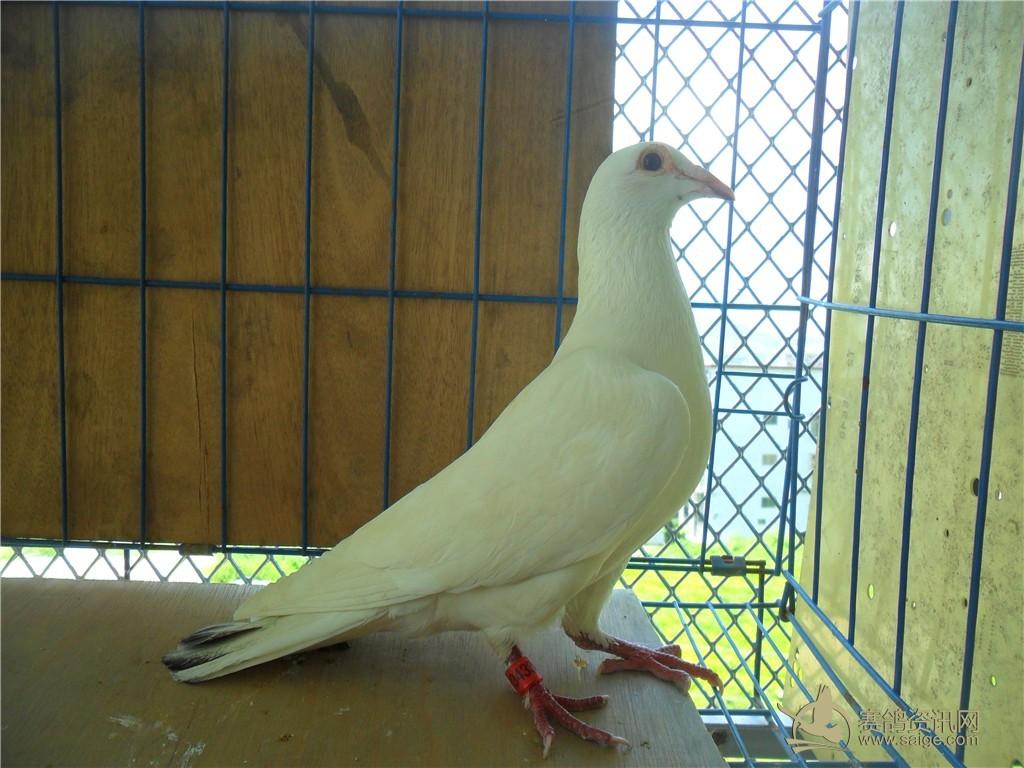 白鸽子图片