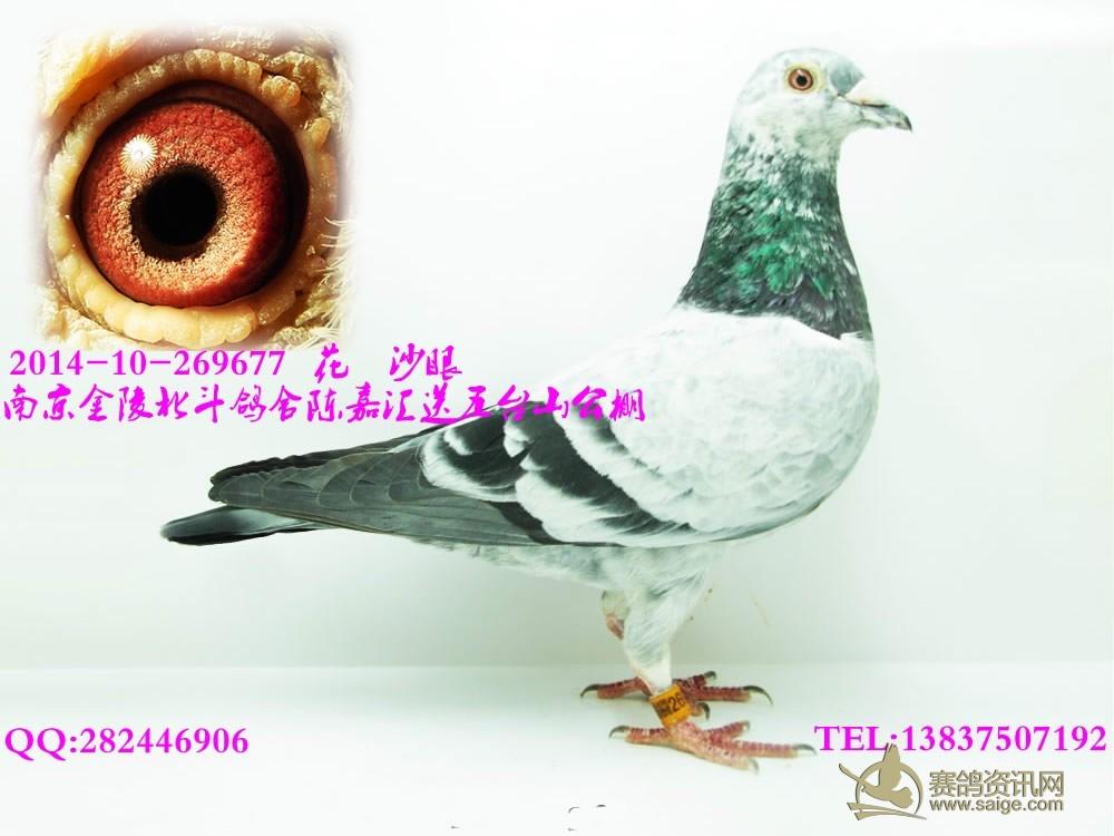 仙女鸽子图片欣赏