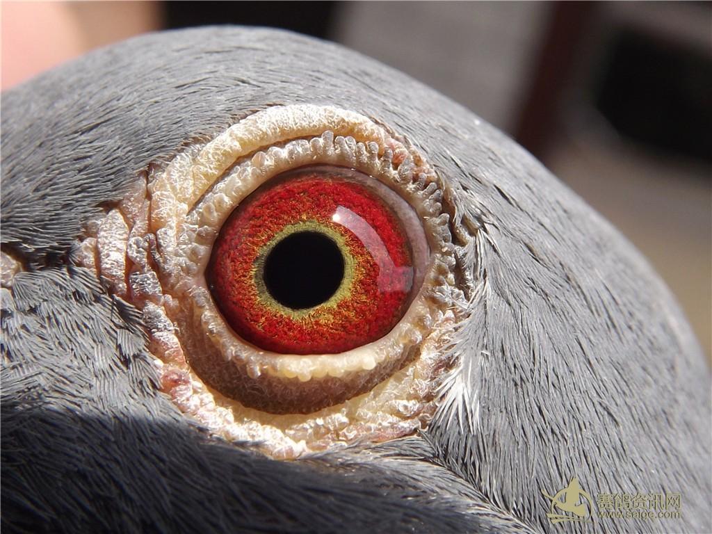 福州市信鸽协会 封环鸽 深雨点插白条 眼睛非常漂亮 附加图片图片