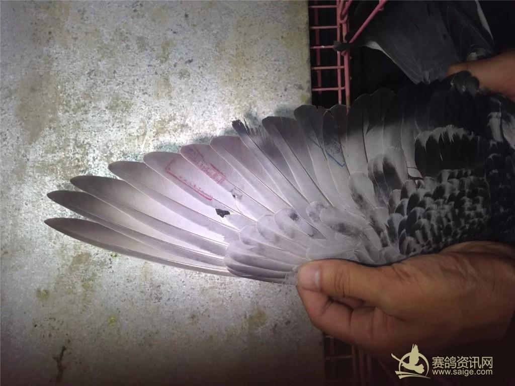 山信鸽协会夏季雨点雌黄眼图片