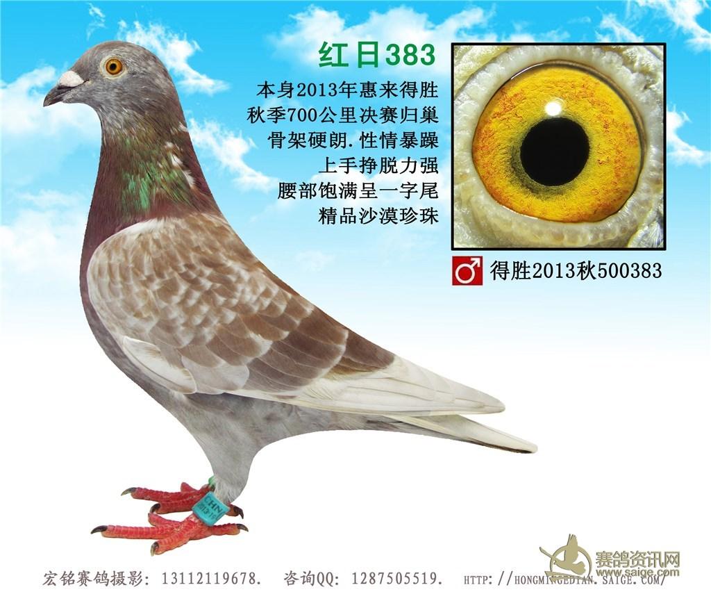精品红雨点沙漠珍珠种鸽,非常漂亮 好质量,请放心购买图片