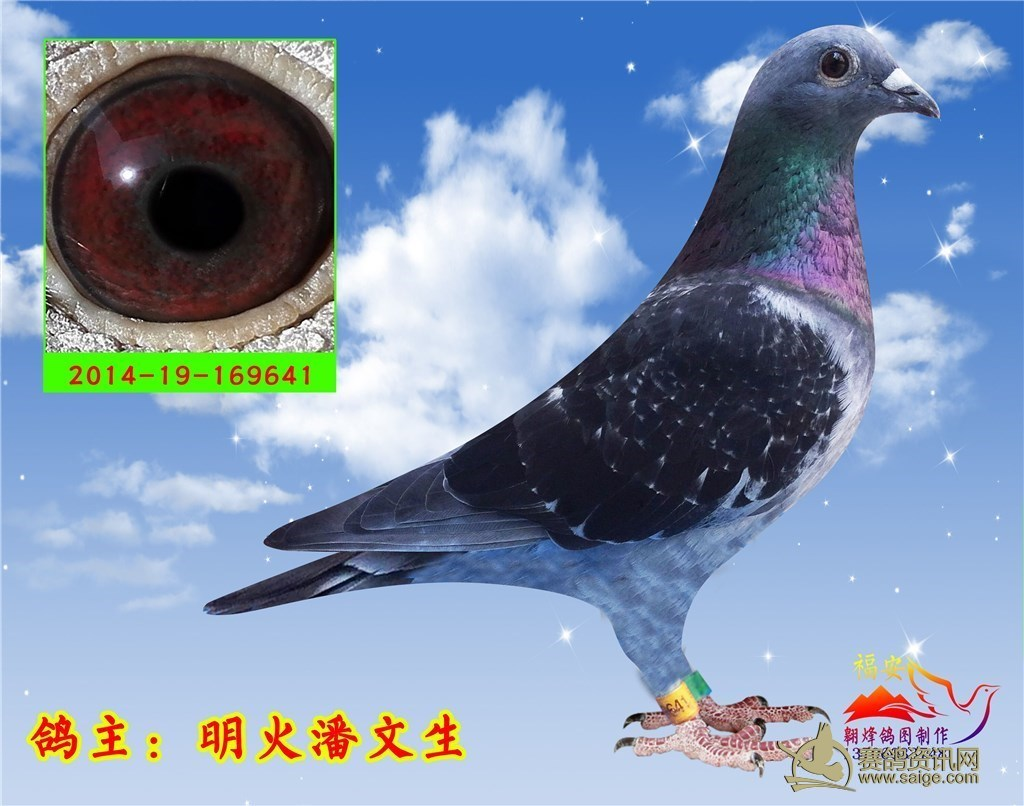 您好, 欢迎来信鸽商城 -佛山名家 明火潘文生,纯雨点牛眼公鸽,机会