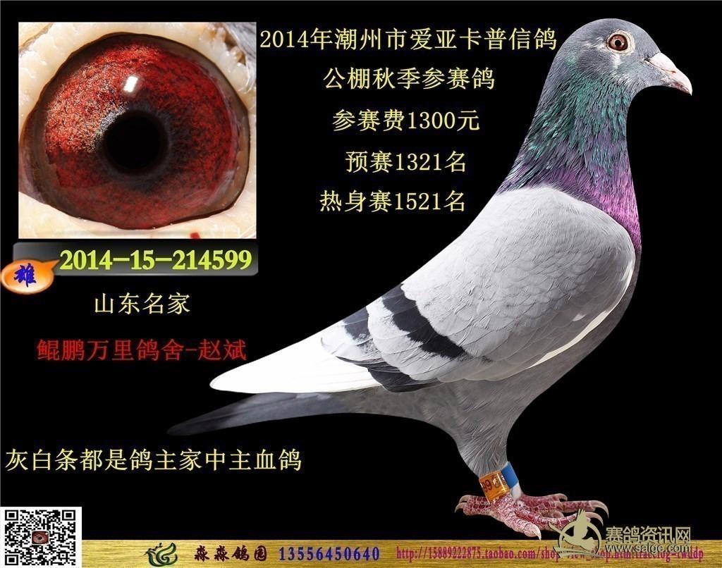 舍 赵斌 鸽主花头白条的鸽子公棚常常拿成绩图片
