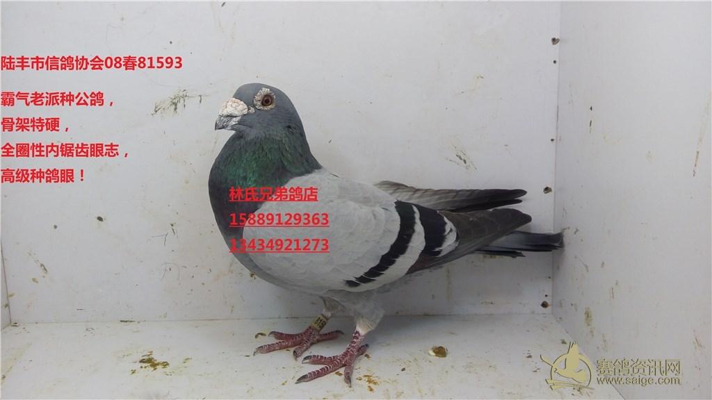 ,全圈性内锯齿眼志,高级种鸽眼 陆丰市信鸽协会08春81593 已售梅