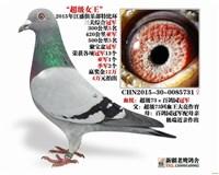 新疆老鹰鸽舍-超级女王